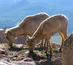 Grazing Sheep (Colorado Sands) Tags: wild usa mountains nature animals female america tiere us colorado unitedstates sheep feeding eating wildlife natureza natura american rockymountains amerika animaux frontrange animais dieren animali grazing montanhas 14ers mountevans dyr mtevans montagnes wildanimals bighornsheep ewe ewes rockymountainhigh rockymountainbighornsheep montanhasrochosas bighornedsheep oviscanadensis grazers photoanimalire coloradowildlife sandraleidholdt rockymountainbighorns leidholdt sandyleidholdt