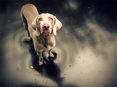 shine (saikiishiki) Tags: shadow dog cute love wet rain stars star eyes shiny gorgeous adorable trampoline explore weimaraner rainy kawaii frontpage uncropped 2010 omoshiroi weim mukha 2652 thelittledoglaughed 52weeksfordogs 52weeksofmukha