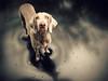 shine (saikiishiki) Tags: shadow dog cute love wet rain stars star eyes shiny gorgeous adorable trampoline explore weimaraner rainy kawaii frontpage uncropped 2010 omoshiroi weim mukha 2652 thelittledoglaughed 52weeksfordogs 52weeksofmukha