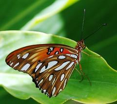 2010  Mexico 066e resting butterfly (jjjj56cp) Tags: orange brown macro butterfly mexico antennae gulffritillary flickrstruereflection1 jennypansing