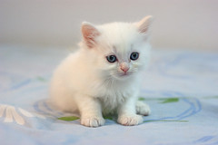 (Lucky Cat Cattery) Tags: capture great beautiful nice sweet wonderful cats kitten blue eye himalaya white                                  seal point                 sad happy