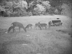 2 Doe, 4 Fawn (rob.rudloff) Tags: doe deer fawn