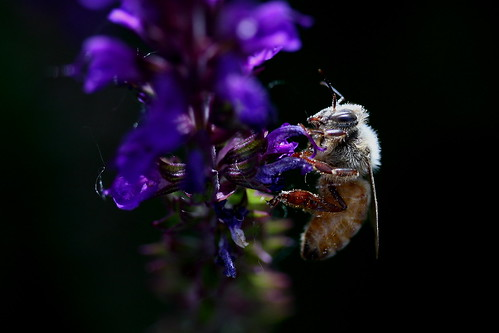 Bee Aglow in Morning Light