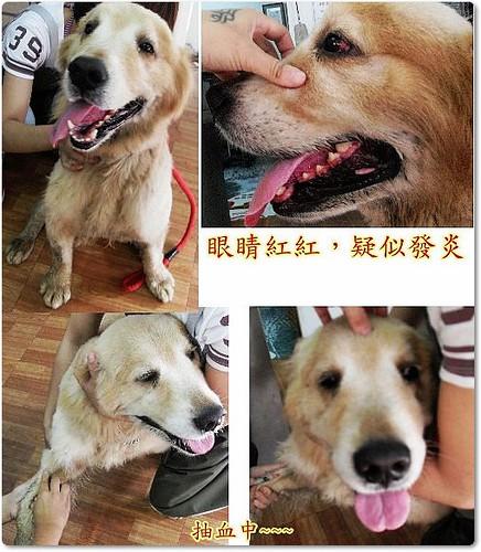 「需要支援認助養」花蓮收容所差點被安樂的黃金獵犬Brian弟弟,即將北上中途,健檢中了心絲蟲,需要您的助養醫療支援,轉PO也是很重要,謝謝您,20100708