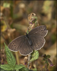 Ringlet (strussler) Tags: canon butterfly insect powershot ringlet g9 dontforgetneda