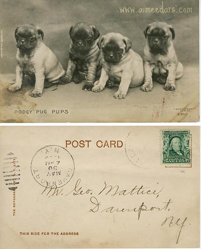 POSTCARD: Podgy Pug Pups (1906)