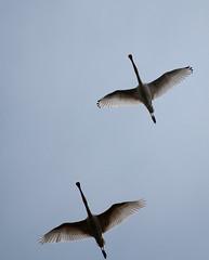 DSC_2284 (Alexander van der Sar) Tags: birds lepelaar