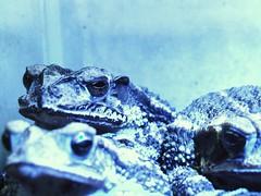 Otis' slumber (the Halfwitboy) Tags: camera light photography photo sleep toads frog sleepy photograph tired toad frogs fujifilmfinepixs9000 fujifilmfinepixs9500