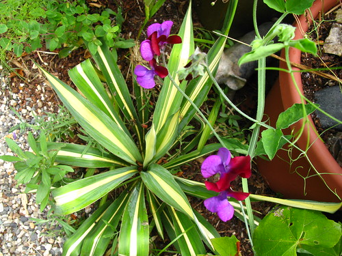 some yucca, 'Cupani'