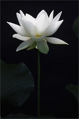 Lotus Flower - IMG_0969 (Bahman Farzad) Tags: flower macro yoga peace lotus relaxing peaceful meditation therapy lotusflower lotuspetal lotuspetals lotusflowerpetals lotusflowerpetal