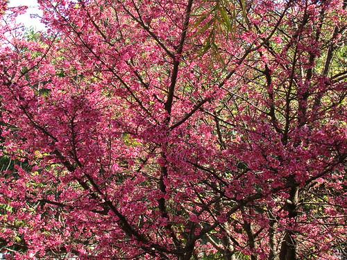 Taiwan-cherry / Cerejeira / Sakura