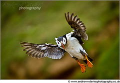 Landing Gear Down.......... (andrewwdavies) Tags: birds southwales moving inflight fast atlantic landing puffins pembrokeshire seabird clumsy burrow fraterculaarctica skomerisland auk thewick canonef70200mmf28lisusm canoneos7d andrewwilliamdavies ynysskomer