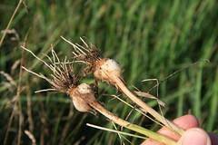 wild garlic 6