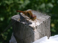 Meadowhawk 1 (JReben75) Tags: fly wings dragon dragonfly flyinginsect