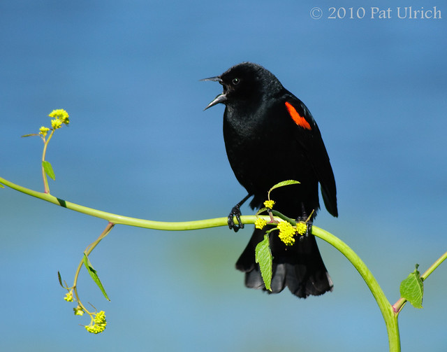 Singing red-winged blackbird