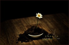 #12 Growing every day with a drop of love (Abdulla Attamimi Photos [@AbdullaAmm]) Tags: life brown white plant flower green rose photography photo nikon photos photographic soil compost 2008 2010   abdulla abdullah  amm    d90       tamimi        attamimi    desamm abdullahamm abdullaamm altamimialtamimi    abdullaammnet abdullaammcom