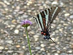 Zebra Swallowtail (Image Hunter 1) Tags: flower macro nature closeup butterfly louisiana zebra swallowtail zebraswallowtail hodgesgardens panasonicfz35