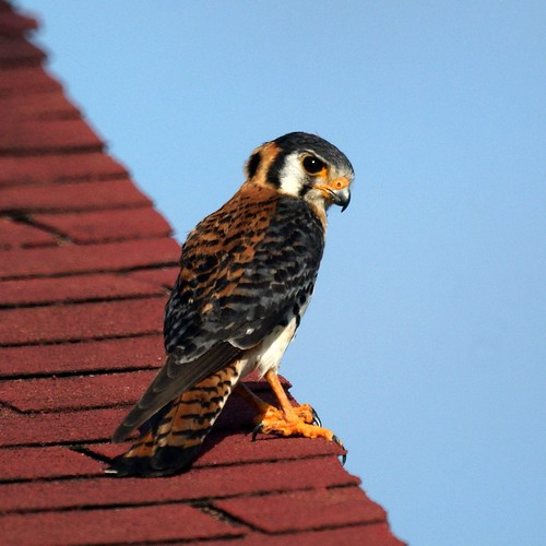 American Kestrel in Antigua