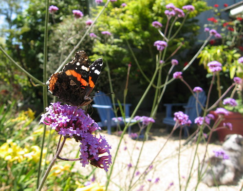 Red Admiral on Verbena bonarsiensis
