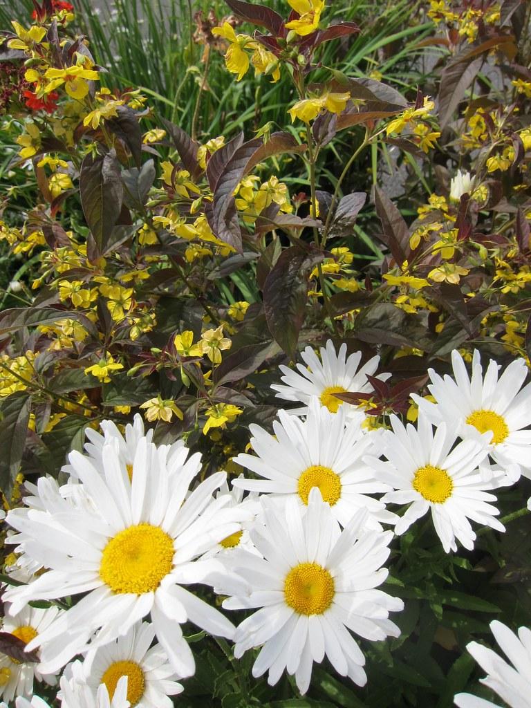 Daisies and Lysimachia ciliata 'Firecracker' (?)
