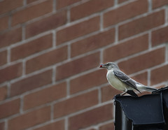 Mocking Bird !! (Dreamzzzz....) Tags: usa cherry spring texas irving mockingbird