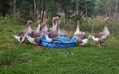 My geese