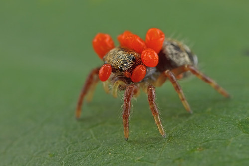 ... poor Jumping Spider ...