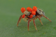 ... poor Jumping Spider ... (liewwk - www.liewwkphoto.com) Tags: family macro nature america ma spider us jumping unitedstates natural massachusetts more numbers than greater their mites jumpingspider parasite hosts quickly reproduce southborough salticidae parasitism  liewwk httpliewwkmacroblogspotcom wwwliewwkphotocom