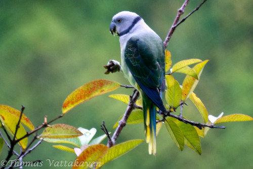 Blue-winged Parakeet, (Psittacula columboides) female