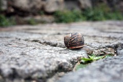 Bon apptit monsieur l'escargot (ceronne) Tags: street plant paris france planta animal calle lluvia feeding eating snail montmartre feed rue francia escargot caracol suelo parigi lutecia