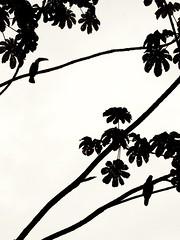 Estampe Japonaise - Costa Rica (Vasnic64) Tags: silhouette costarica pentax silueta shape silouhette vasse k7 nv65