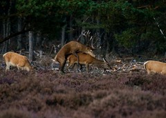 Mating season Deers @ Hoge Veluwe National Park, Netherlands. (Richard Verroen) Tags: nationalpark deer mating mammals deers veluwe hert hogeveluwe matingseason nationaalpark edelhert zoogdieren edelherten