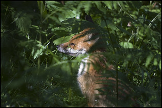 Red Fox, Forest of Dean