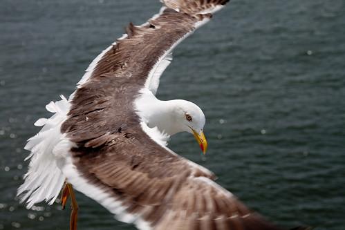 Möwe / Seagull