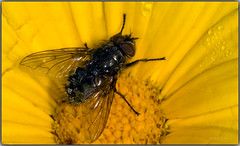 Mosca (Fotgrafo-robby25) Tags: insectos gotas macrofotografa canoneos5d canonef180mm moscasymosquitos