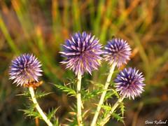 Anniversaire (Domi Rolland ) Tags: france nature europe millau aveyron naturesfinest midipyrnes mywinners abigfave top20spring soulobres fleurdechardons