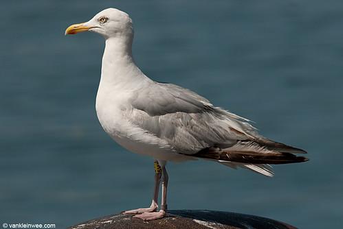 European Herring Gull, 4cy, Y[5W]
