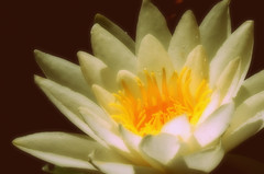 Water lily (macushla63) Tags: white flower yellow waterlily geel wit bloem waterlelie