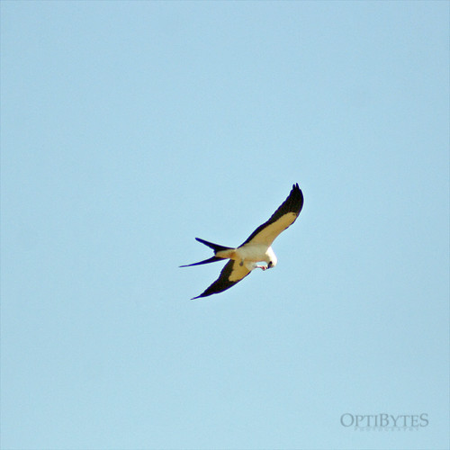 Swallow-Tailed Kite 5