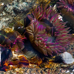In an Octopus' Garden in the Shade (Kinematic Digit) Tags: ocean water closeup rocks underwater sealife seashell tidal seaanemone oceananimals