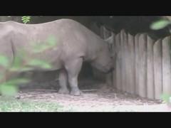 Black Rhino Podcast: By Sami, Zoe, Jayne and Grace (CincinnatiZoo) Tags: podcast zoe jayne grace rhinoceros blackrhino sami