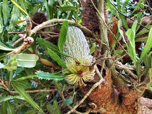 20100804-rq-06-banksia serrata