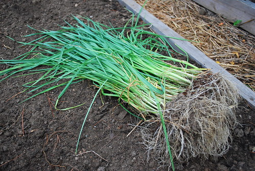 Planting Winter Leeks 1