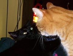 """""""Death Stare Power, ON!"""" (yummysmellsca) Tags: cats pets black ginger fight eyes kitten feline slow dish random tabby poke kitties demon glowing glowingeyes lyingdown bitt demoncat slowfight"""