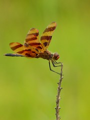 Halloween Pennant Poser (Misty DawnS) Tags: green nature bug insect wings dragonfly odonata halloweenpennant