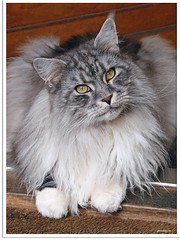 Here I am (Jorbasa) Tags: pet animal cat germany deutschland hessen mainecoon maxwell katze kater tier tomcat wetterau jorbasa blacksilverclassictabby