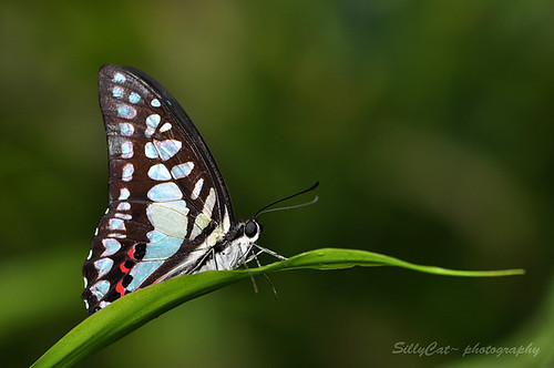 木蘭青鳳蝶—Common Jay (Graphium Doson)1