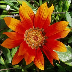 Gazania (lacha2008) Tags: thegalaxy photosandcalendar natureselegantshots saariysqualitypictures thebestofmimamorsgroups theoriginalgoldseal mygearandmepremium mygearandmebronze mygearandmesilver mygearandmegold mygearandmeplatinum mygearandmediamond aboveandbeyondlevel1 flickrstruereflection1 flickrstruereflection2 flickrstruereflection3 flickrstruereflection4 flickrstruereflection5 flickrstruereflection6 flickrstruereflection7 aboveandbeyondlevel2 aboveandbeyondlevel3 rememberthatmomentlevel4 rememberthatmomentlevel1 rememberthatmomentlevel2 rememberthatmomentlevel3 rememberthatmomentlevel7 rememberthatmomentlevel9 rememberthatmomentlevel5 rememberthatmomentlevel6 rememberthatmomentlevel8 rememberthatmomentlevel10