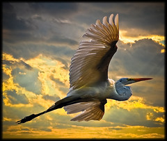 Eastern Great Egret (wowography.com) Tags: park summer sky orange ny newyork bird nature colors silhouette yellow skyline clouds photoshop bay harbor flying suffolk wings exposure birding frame tweak handheld sharpen sunkenmeadow 70300mm egret overhead avian lightroom birdinflight smithtown d90 wowography mywinners enhancedsky easterngreategret longislandphoto tomreese bestofmywinners tr11787 mygearandmepremium mygearandmebronze mygearandmesilver photocontesttnc10 heliconfilter5 myfirstshotofbirdinflight fixedcloudsinlowerhalf wowographycom availablefromgettyimages