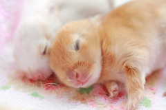 Peaceful Dream (Spice  Trying to Catch Up!) Tags: pet baby color rabbit bunny bunnies art animal japan canon mouth fur nose photography eos interesting kitten asia soft flickr babies colours hand image bokeh sensitive small picture july minimal whiskers tiny kits  5d kit rabbits delicate companion usagi  2010 saitamaken          netherlanddwarfrabbit kuneho canoneos5dmarkii    miniusagi    gettyvacation2010